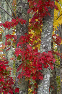 USA, Maine, Acadia National Park, Autumn foliage von Danita Delimont