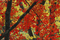 Red Maple Close-Up, Sebago Lake State Park, Raymond, Maine, USA von Danita Delimont