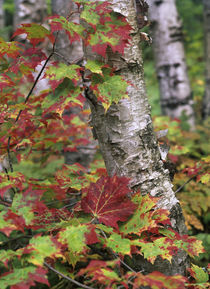 Maple leaves and birch tree, Acadia National Park, Maine by Danita Delimont