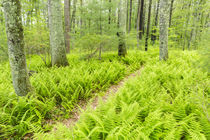 A trail creates a path through ferns in the forest at the St... by Danita Delimont