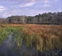 Marsh at Province Lands, Cape Cod National Seashore, Massachusetts by Danita Delimont