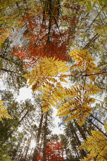 Upward view through ferns in pine forest, Upper Peninsula of Michigan. von Danita Delimont
