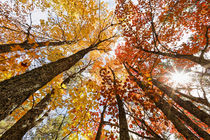 Skyward view of maple tree in pine forest, Upper Peninsula o... by Danita Delimont
