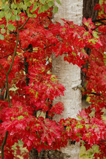 Red maple leaves in autumn and white birch tree trunk, Upper... by Danita Delimont