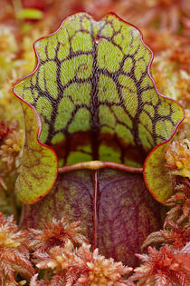 Northern Pitcher Plant, Sarracenia purpurea, in Sphagnum mos... by Danita Delimont