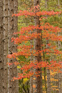 Maple trees in fall colors, Hiawatha National Forest, Upper ... by Danita Delimont