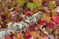 Autumn maple leaves cover birch bark on forest floor near Co... von Danita Delimont
