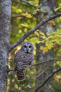Barred Owl in fall, Alger County, MI von Danita Delimont