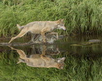 Gray Wolf running through water, Canis lupus Minnesota by Danita Delimont