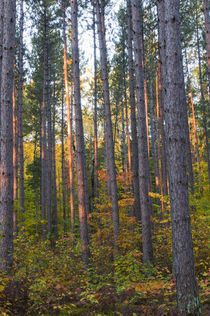 USA, Minnesota, Lake Itasca, Itasca State Park, Pine demonst... von Danita Delimont