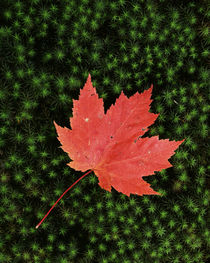 USA, Missouri, Mark Twain National Forest, Starmoss and Red Maple Leaf by Danita Delimont