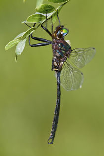 Clamp-tipped Emerald dragonfly male, Reynolds Co von Danita Delimont