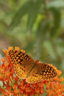 Great Spangled Fritillary on Butterfly Milkweed Reynolds Co von Danita Delimont