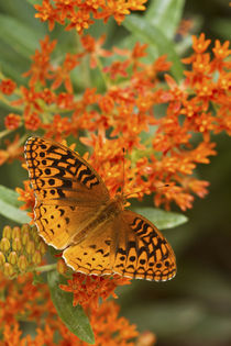 Great Spangled Fritillary on Butterfly Milkweek Reynolds, Mi... by Danita Delimont