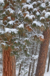 Ponderosa Pine Winter by Danita Delimont
