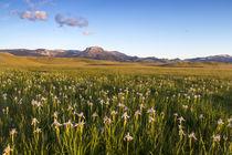 Ear Mountain Iris by Danita Delimont