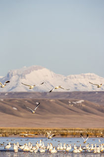 Snowgeese Freezeout by Danita Delimont
