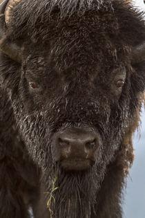 Bison Bull von Danita Delimont