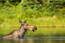 Female moose feeding in small lake in Glacier National Park,... von Danita Delimont