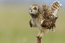 Short eared owl at Ninepipe WMA near Ronan, Montana, USA. by Danita Delimont