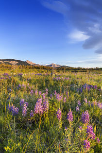 Vast field of wildflowers along the Rocky Mountain Front at ... von Danita Delimont