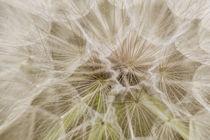 Goatsbeard Seed by Danita Delimont