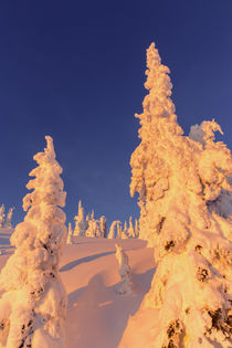 Snowghosts catch the very last sunlight at Whitefish Mountai... by Danita Delimont