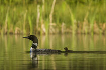 Common loon with newborn chick on small mountain lake near W... by Danita Delimont