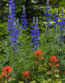 Lupine and Indian Paintbrush wildflowers carpet the forest f... by Danita Delimont