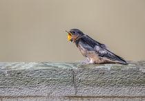 Barn Swallow begging by Danita Delimont