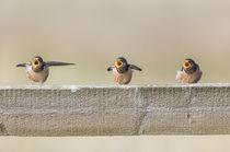 Barn Swallows begging von Danita Delimont