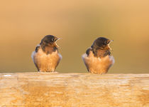 Barn Swallow fledglings by Danita Delimont