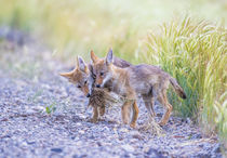 Coyote Pups Playing by Danita Delimont