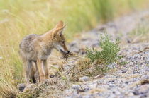 Coyote pup with grass von Danita Delimont