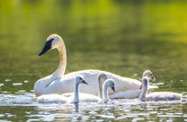 Trumpeter Swan Family by Danita Delimont