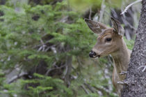 White Tail Deer Portrait Fishercap Lake, Glacier National Park by Danita Delimont