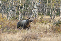 Grizzly Bear, Sow traverses meadow in Many Glacier Area, Gla... von Danita Delimont
