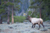 Rocky Mountain Elk, Madison River Area, Yellowstone National... by Danita Delimont