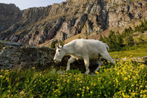 Mountain Goat, Oreamnos Americanus, in wildflowers, Hidden L... by Danita Delimont