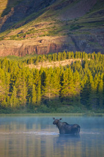 Cow Moose in Fishercap Lake at Sunrise, Many Glacier Area, G... by Danita Delimont