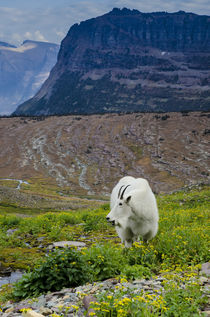Mountain Goat feeding along creek near Hidden Lake Trail, Gl... by Danita Delimont