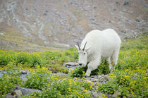Mountain Goat feeding along creek near Hidden Lake Trail, Gl... von Danita Delimont