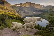 Mountain Goat, Oreamnos Americanus, mother and kids, in wild... by Danita Delimont