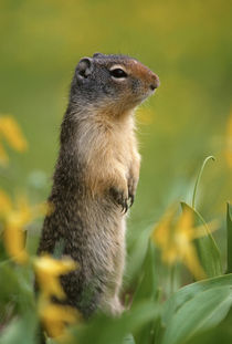 Columbian ground squirrel, among glacier lilies, Glacier Nat... von Danita Delimont