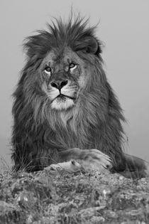 North America, USA, Montana, Bozeman, African Lion, Panthera... von Danita Delimont