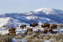 Bison Herd, Yellowstone National Park von Danita Delimont