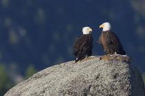 Bald Eagle Pair by Danita Delimont