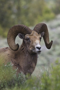 Rocky Mountain Bighorn Sheep Ram von Danita Delimont