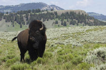 Bison Bull, Yellowstone National Park by Danita Delimont