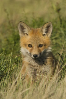 Red Fox Kit by Danita Delimont